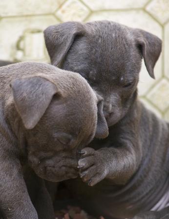 Twee Pitbull pups, een met zijn poot op de andere neus, alsof het controleren van de temperatuur