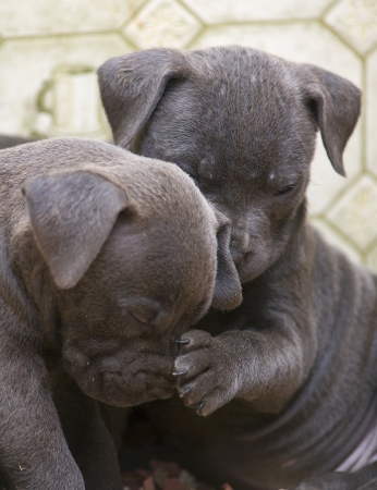 Two Pitbull pups, one with its paw on the others nose as if checking its temperature photo