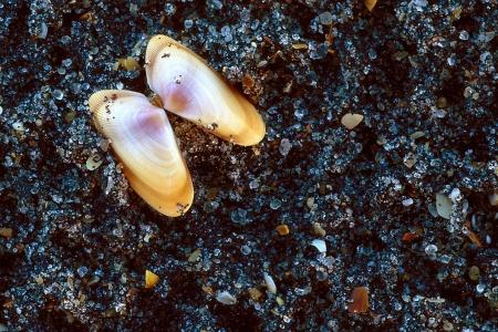 Coquina Sea Shells on sand 免版税图像