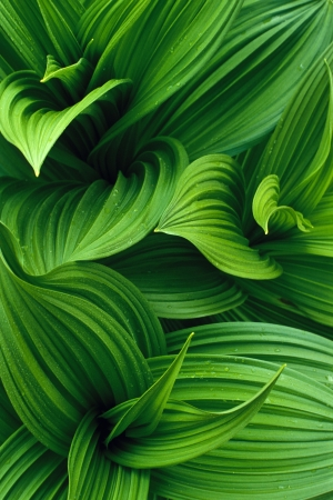 False Hellebore Leaves Stock Photo