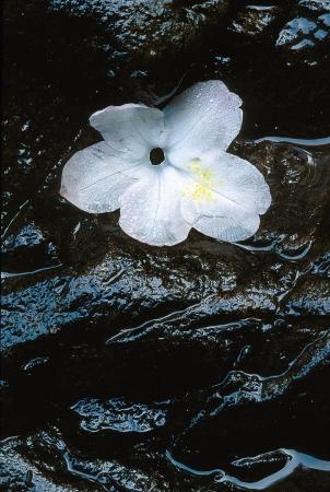 florae: White Dogwood flower resting on wet, nlack rock