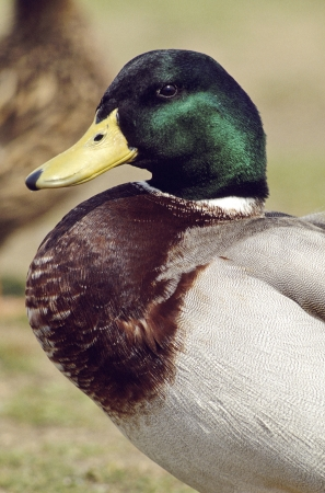 Portrait of a male Mallard Duck Stock Photo - 17081179