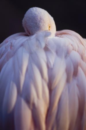 Pink Flamingo met hoofd verscholen onder de vleugels rusten Stockfoto