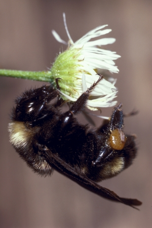 Bumble bee on small Daisy flower