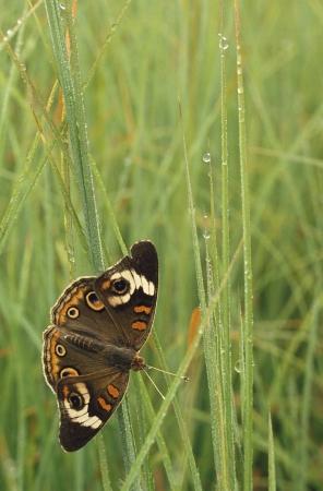 Buckeye Butterfly Junonia coenia en dauw Stockfoto