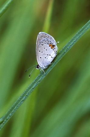 Gray Hairstreak Butterfly on grass with dew Stock Photo - 17081206