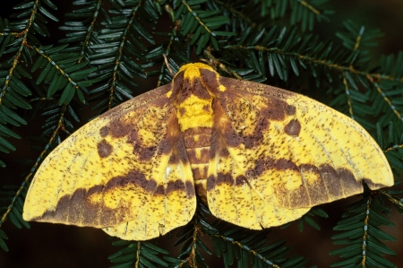 Keizerlijk Moth Eacles imperialis op groenblijvende boom Stockfoto