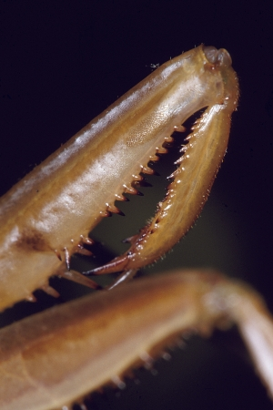 Close-up of a Praying Mantis arm