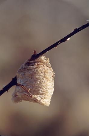 sidelit: Praying Mantis Egg Case on Branch
