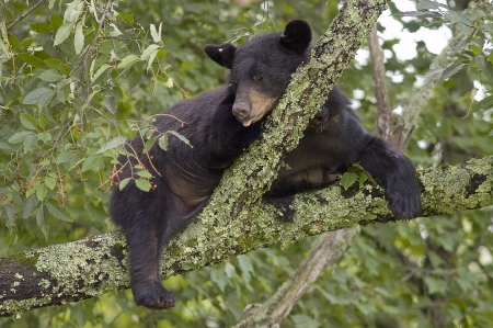 A Black Bear  Ursus Americanus  sleeping in a tree Stock Photo