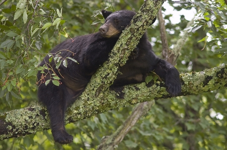 A Black Bear  Ursus Americanus  sleeping in a tree Stock Photo - 17115535