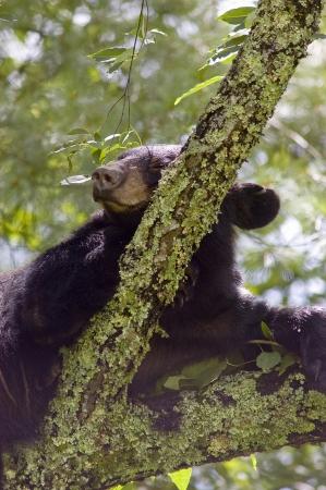 A Black Bear  Ursus Americanus  sleeping in a tree Stock Photo - 17115523
