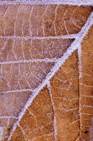 fallen leaf with frost outlining veins Stock Photo - 17329013