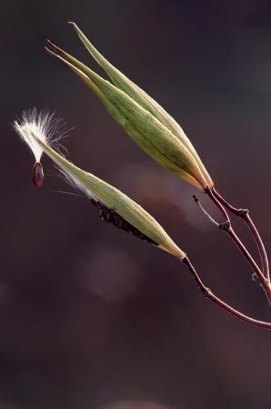 Milkweed seed pod with a single seed emitting Banco de Imagens
