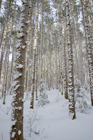 A Michigan forest with snow on the bark of trees Stock Photo - 17591524
