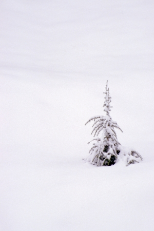 A Single evergreen in fresh snow Stock Photo - 17591526