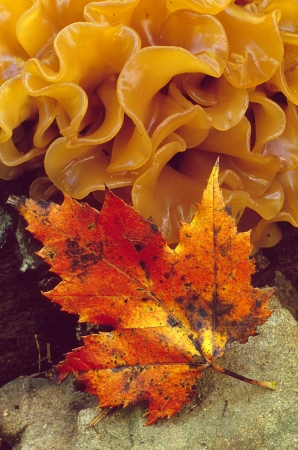red maple leaf: A red maple leaf with orange layered fungus