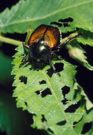 Japanese Beetle destroying a plant leaf Stock Photo
