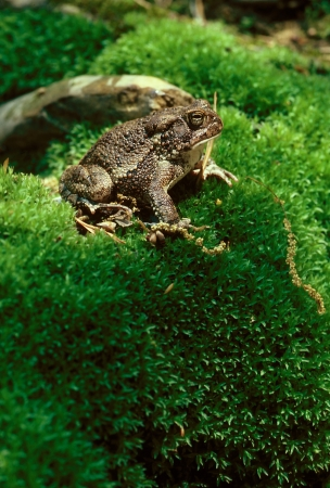An American Toad  Bufo americanus  on a moss covered hill