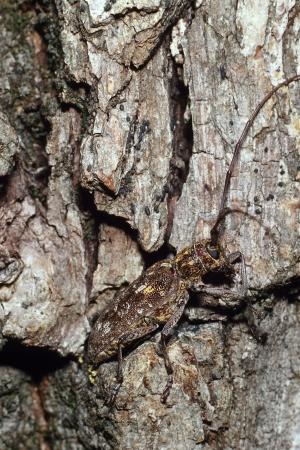 Vlakke boktor gecamoufleerd op boom