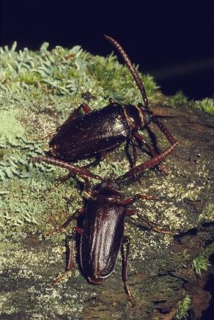 borer: A pair of Pine Borer Beetles on a mossy log
