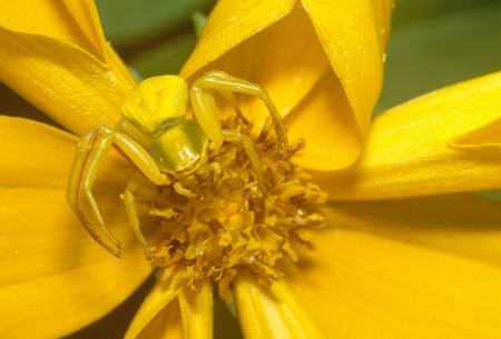 A Goldenrod Spider  Misumena vatia  photo