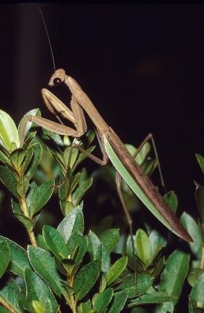 mantid: A praying mantis  or Chinese Mantid  on a bush