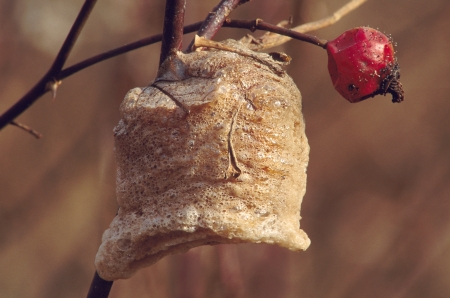 Praying Mantis Egg Case on Branch