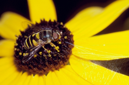 susan: Hoverfly on Black-Eyed Susan Flower Stock Photo