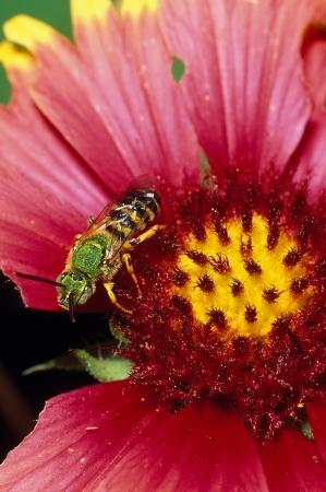 Een Green Metallic Bee Agapostemon melliventris Stockfoto