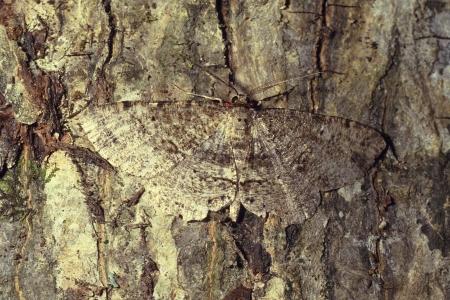 Een bruine gevlekte gekleurde vlinder gecamoufleerd op boom