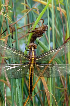 A Widow Skimmer Dragonfly and its naiad casing Stock Photo