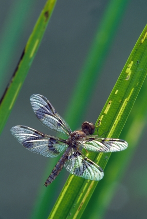 Dragonfly with shiny wings on grass stems Imagens