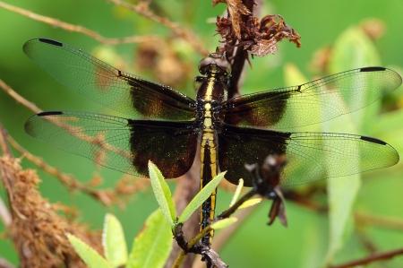 skimmer: A close up of a Widow Skimmer Dragonfly