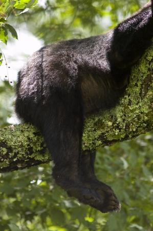 oso negro: Un Oso Negro Foto de archivo