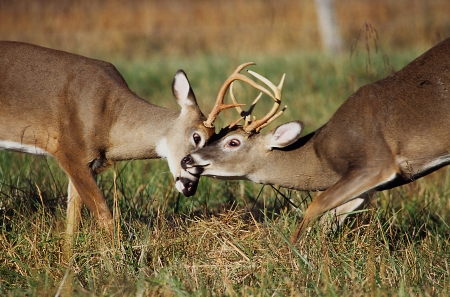 A pair of White Tailed Deer bucks sparring