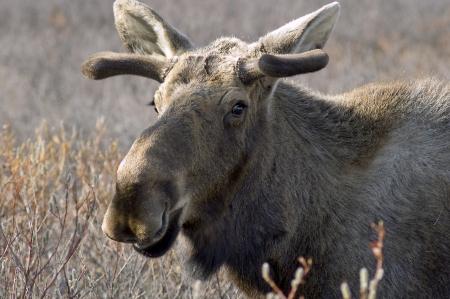 Portret van een eland met fluwelen geweien in Alaska