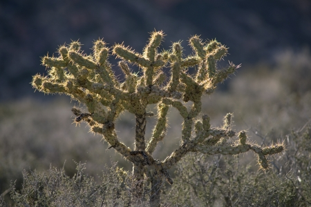 desolated: Pencil Cholla cactus  Opuntia ramosissima  at Red Rock Canyon, Mojave Desert, Nevada