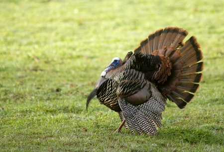 A Wild Tom Turkey (Meleagris gallopavo), spreading his tail to attract a hen Stock Photo - 19254995