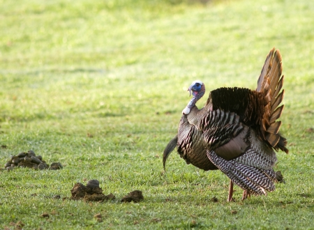 mount tom: A Wild Tom Turkey (Meleagris gallopavo), spreading his tail to attract a hen
