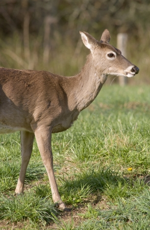 A White Tailed Deer (Odocoileus virginianus) in a field