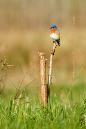 Eastern Bluebird  Sialia sialis  Stock Photo