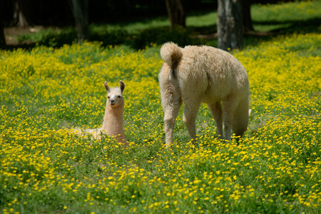Llama and her young in field of buttercups