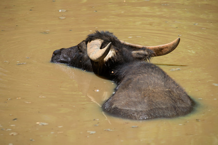 A Water Buffalo soaking in a lake Stock Photo