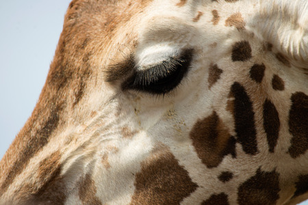 Extreme close-up of a Giraffes face showing huge eye lashes
