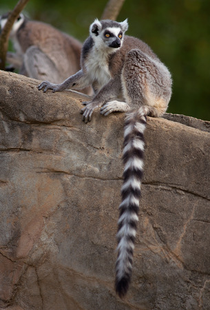 Ring Tailed Lemur sitting on rock