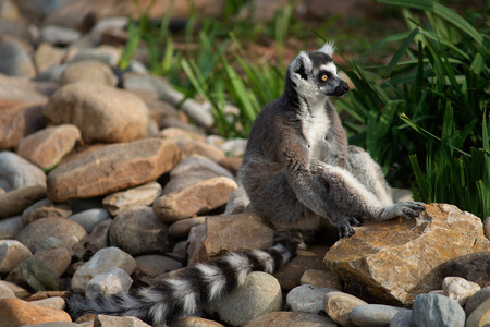 A Ring Tailed Lemur sitting on rocks Stock Photo