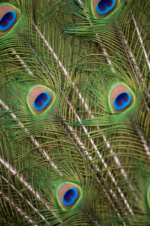 Colorful Pattern on Peacock Tail Stock Photo - 40350798