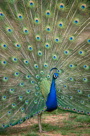 Peacock displaying full tail spred colors Stock Photo - 27958039