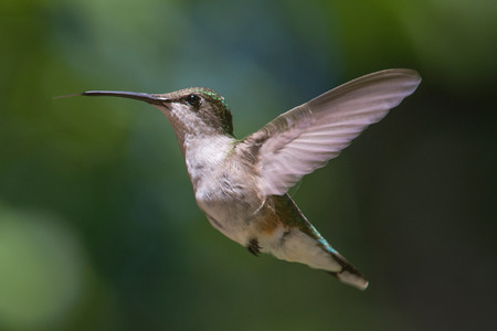 ruby throated: Ruby Throated Hummingbird hovering in flight